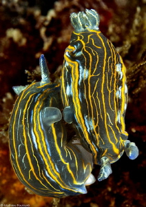 2 Hypselodoris villafranca mating by Mathieu Foulqui&#233; 